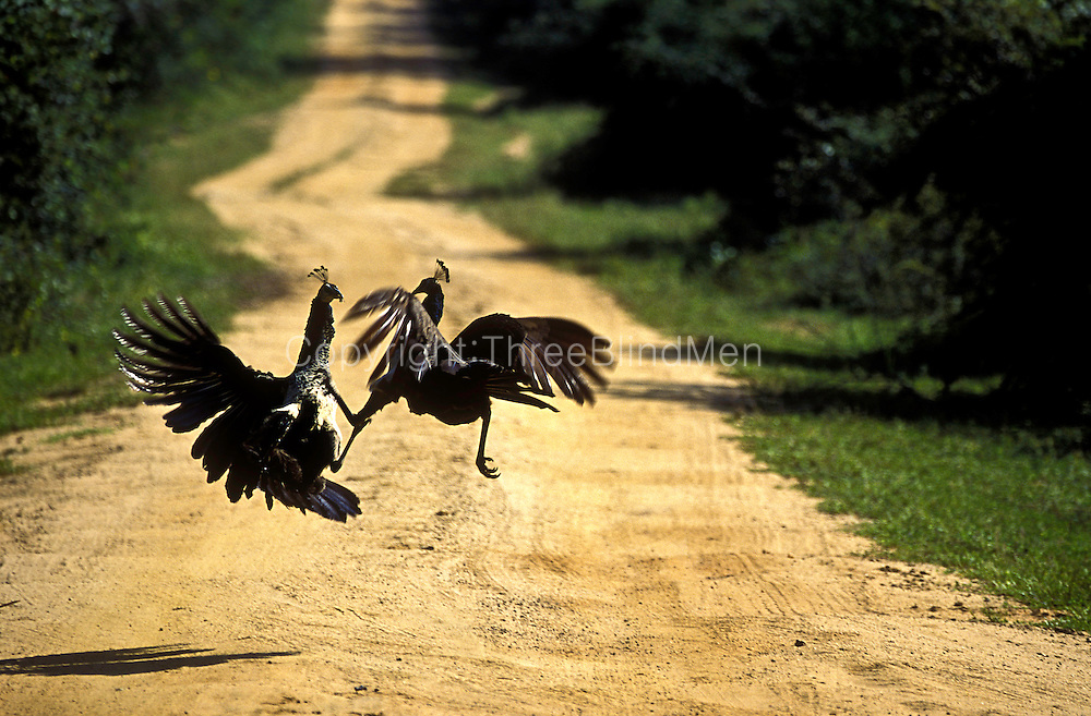 Peahens having a squabble. Female peafowls on Yala road inside Yala National Park. Sri Lanka.