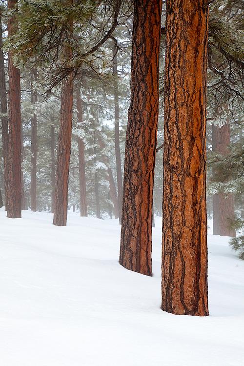 Ponderosa Pines (Pinus ponderosa) in snow. Grand Canyon National Park, Arizona.