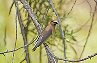 An adult Cedar Waxwing perched on a branch next to a creek in northern Utah.