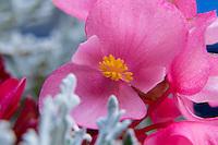 Macro shot of a pink begonia blossom
