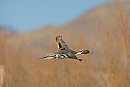 Pintail - Anas acuta - male in flight. L 51-66cm. Recognised by elongated appearance; male is unmistakable. In flight, male's grey wings and green speculum are striking; female's white trailing edge on inner wing is obvious. Sexes are dissimilar in regards. Adult male has chocolate brown head and nape, with white breast extending as stripe up side of head. Plumage is otherwise grey and finely marked but note cream and black stern, and long, pointed tail, often held at an angle. In eclipse, resembles adult female but retains wing pattern. Adult female has mottled buffish brown plumage. Juvenile is similar to adult female. Voice Male utters a whistle, female's call is grating. Status Rare breeding species (on freshwater marshes) but fairly common in winter, often on estuaries.