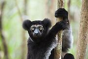 Indri <br /> Indri indri<br /> Male<br /> East Coast of Madagascar