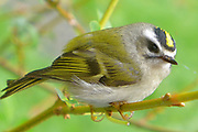 ruby crowned kinglet bird
