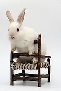 Cutout of a white rabbit on a chair on white background