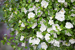 Calibrachoa Can Can 'Double White Improved' and Muehlenbeckia complexa - Maidenhair vine.