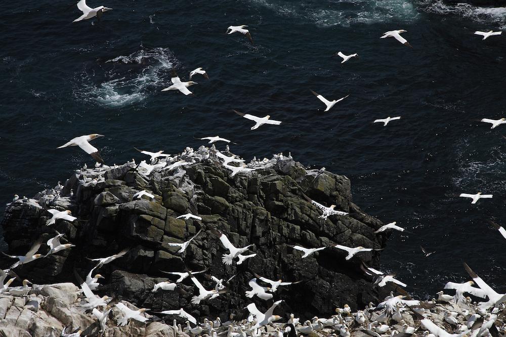 Gannets ( Sula bassana )  Ireland Saltee Islands