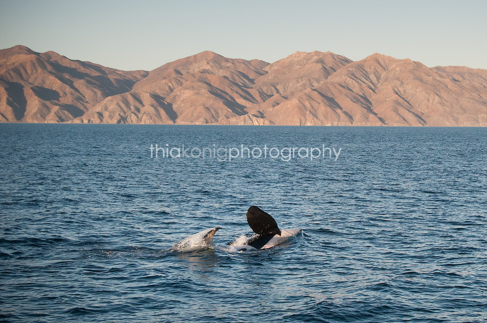 An orca and her young slap their fins in the Sea of Cortez, Mexico