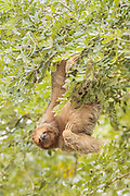 Three-toed Sloth hanging from a tree in Costa Rica