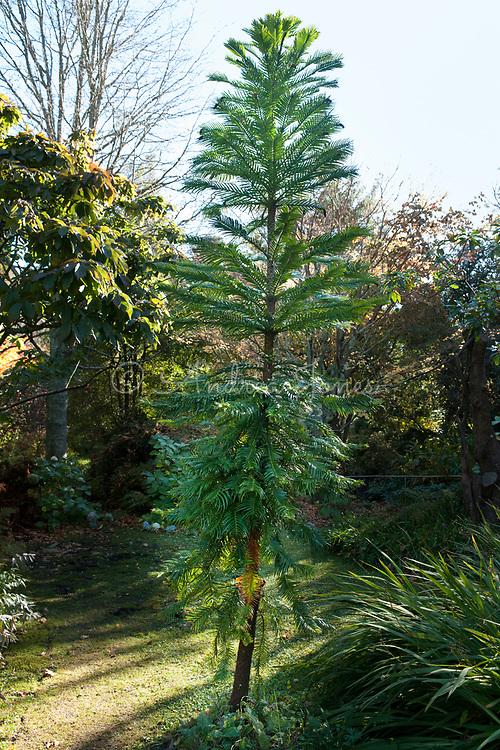 Wollemia nobilis (Wollemi pine)