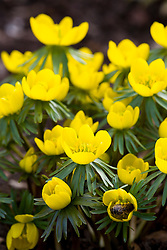 Eranthis × tubergenii 'Guinea Gold'. Winter aconite