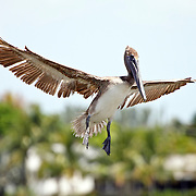 Brown Pelican preparing to land