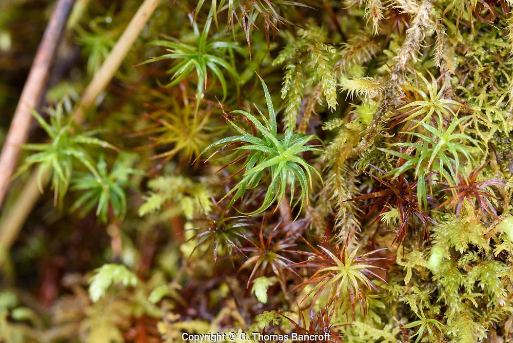 Polytrichum juniperinum -- Jiniper Haircap Moss