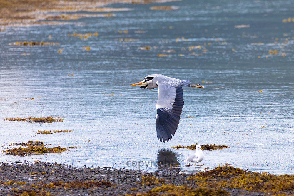 Large Grey Heron, Ardea cinerea, gliding in flight with wings flapping by shoreline of loch on the Isle of Mull in Inner Hebrides and Western Isles of Scotland