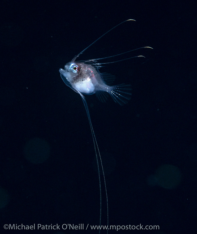 Unidentified post larval Monkfish (Lophius) photographed at night offshore Palm Beach, Florida, during a blackwater dive.