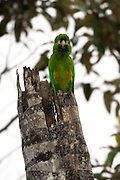 Cerro Tapichalaca Reserve - Monday, Jan 07 2008: A Golden-plumed Parakeet (Leptosittaca branickii) perches on top of a tree in the Cerro Tapichalaca Reserve near Podocarpus National Park. (Photo by Peter Horrell / http://www.peterhorrell.com)