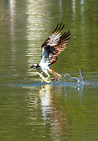 I took out my 300mm Canon lens and took a photo of this amazing Osprey catching a fish on a lake in San Diego.  This is a rare occurrence in Southern California.