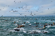 The ocean's surface becomes chaotic right before humpback whales re-appear. The whales push the anchovy schools closer to the surface to be able to lunge feed, which the sea lions and flocks of birds use to their advantage to also get in on the feeding action.