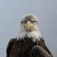 A young Bald Eagle in Dutch Harbor, Alaska.