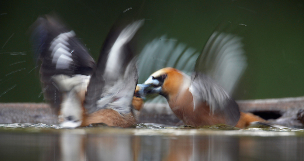 Hawfinch (Coccothraustes coccothraustes) Pusztaszer Nature Reserve, Hungary