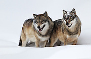 Two wolves are standing in the snow in the wildlifepark of the Bavarian Forest.