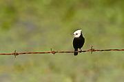 White-headed Marsh Tyrant (Arundinicola leucocephala)<br /> Savannah<br /> Rupununi<br /> GUYANA. South America<br /> RANGE: South America from Colombia, Venezuela and Trinidad south to Bolivia, Argentina and Paraguay.