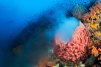 A Barrel Sponge spawns on a colorful reef slope<br /> <br /> Shot in Indonesia