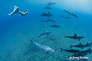 Pacific mermaid Dana Richardson swims with Hawaiian spinner dolphins or long-snouted spinner dolphins, or Gray's spinner dolphins, Stenella longirostris longirostris, Hookena, Kona, Hawaii ( the Big Island ) Central Pacific Ocean MR 410