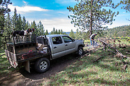 Downed trees are just part of black bear hunting with hounds in Idaho