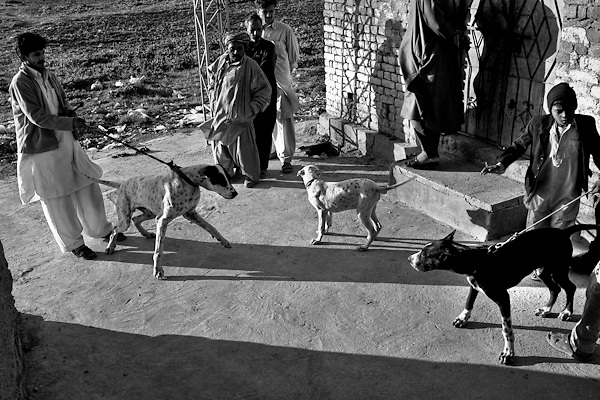 "Increasingly widespread is the tendency to hold dogs mastiff breed. Murat (left side) with his dog Jack and other friends. Countryside of Rawalpindi. Pakistan, on thursday, December 11 2008.....According to the Islamic tradition, angels do not enter a house which contains dogs. Even if they are considered ""ritually unclean"" by the jurists, the fighting dogs of Pakistan are tolerated by institutions and by believers alike. These mastiffs are grown and trained explicitly for these matches. Spectators in this area flock-in from nearby villages whenever a famous dog is scheduled to enter the arena. And this is more than just a show: entire families base their social esteem on the results of such bloody confrontations."