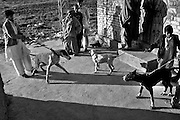 """Increasingly widespread is the tendency to hold dogs mastiff breed. Murat (left side) with his dog Jack and other friends. Countryside of Rawalpindi. Pakistan, on thursday, December 11 2008.....According to the Islamic tradition, angels do not enter a house which contains dogs. Even if they are considered """"ritually unclean"""" by the jurists, the fighting dogs of Pakistan are tolerated by institutions and by believers alike. These mastiffs are grown and trained explicitly for these matches. Spectators in this area flock-in from nearby villages whenever a famous dog is scheduled to enter the arena. And this is more than just a show: entire families base their social esteem on the results of such bloody confrontations."""