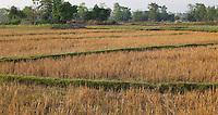 Wheat field after harvest, Bardiya, Nepal