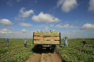 Undocumented workers harvest watermelons in a field outside of Edinburg on June 15, 2007.  The workers are paid per ton of watermelons harvested in a process that involves two passes over the same land -- the first to cut the good watermelons from their vines and place them where they can be easily harvested, and the second to toss them into a truck to be carried to market.