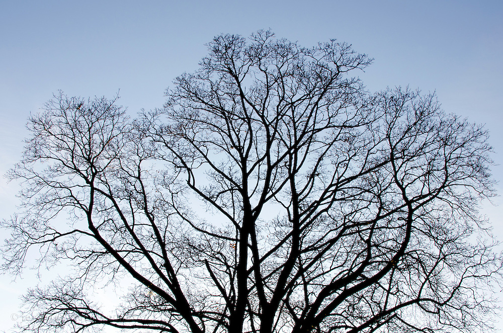 The bare branches of a deciduous tree are silhouetted against the twilit winter sky, Bar Harbor, Maine.