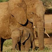African Elephant ( Loxodanta africana)Mother and baby. Samburu Game Reserve. Kenya. Africa.