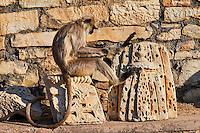 Inde, état du Rajasthan, fort de Chittorgarh classé Patrimoine Mondial de l'UNESCO, singe langur // India, Rajasthan, Chittorgarh fort, Unesco world heritage, langur monkey