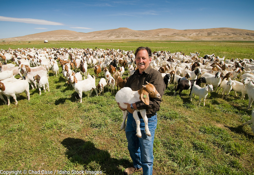 Goat ranching. Rancher with herd of goats. MR