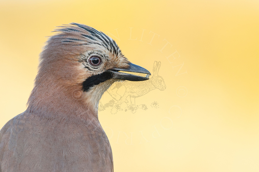 Eurasian Jay (Garrulus glandarius) adult, close up of head holding seed in beak, South Norfolk, UK. November.