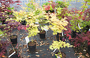 Various potted maple plants at Swanns nursery garden centre, Bromeswell, Suffolk, England