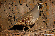 California Quail<br /> Lakeview, Oregon<br /> <br /> California Quail are highly sociable birds and gather in small flocks known as &quot;coveys&quot;. Said to coexist well at the edges of urban areas, this bird was a member of a covey living inside the city limits of Lakeview, Oregon. <br /> <br /> Edition of 500