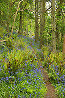 path through ancient oak woodland with king fern. Aughton Wood, River Lune, Lancashire with Bluebells