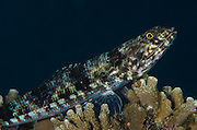 Reef Lizardfish (Synodus variegatus)<br /> Coral Reef<br /> Koro Island<br /> Fiji. <br /> South Pacific
