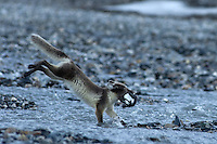 Arctic fox / Alopex lagopus<br /> Alkehornet<br /> Svalbard<br /> Norway