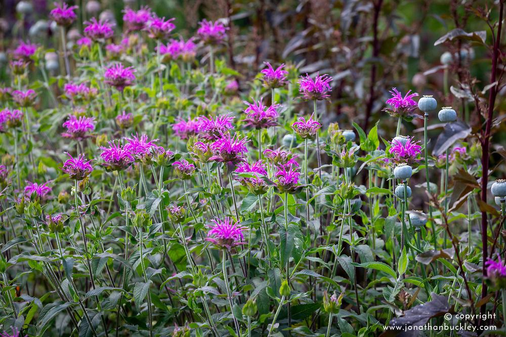 Monarda 'Violet Queen' AGM (bergamot) with Atriplex hortensis and opium poppy seedheads (Papaver somniferum).