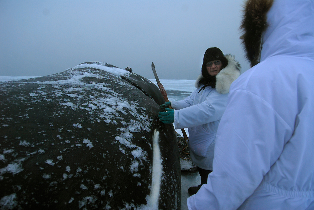 Barrow, Alaska. Simmeon Patkotak Crew got a whale. The whale is now on the ice and it is time to start butchering. The first cut, the belt cut, is the captain's share.  May 2007.