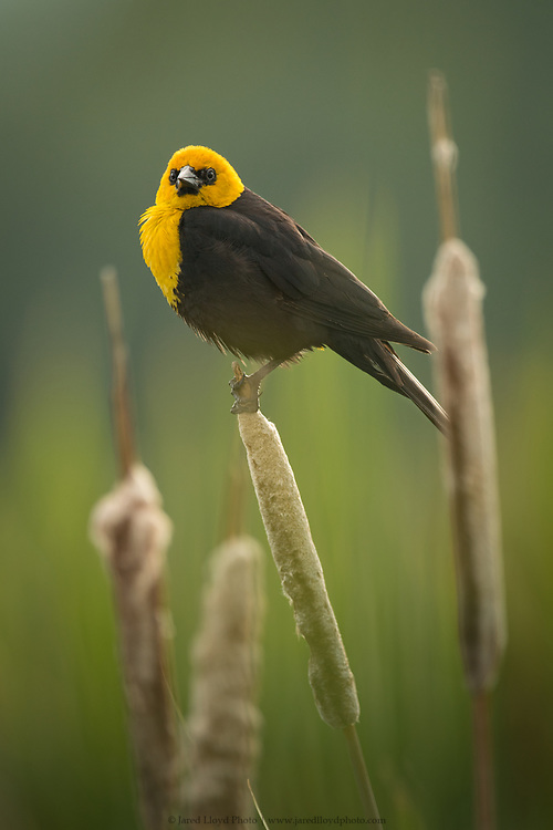 a yellow headed blackbird perches in a freshwater cattail marsh