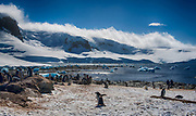 Gentoo penguin (Pygoscelis papua) and icy landscape at Mikkelsen Harbor, Trinity Island, Antarctica