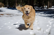 Dog running in the snow, Toiyabe National Forest, California