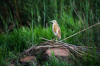 Squacco Heron, Marataba Private Game Reserve, Limpopo, South Africa