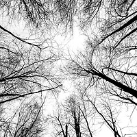 Where - Ottawa, Canada. Trees in the winter like ghostly limbs reaching upwards.