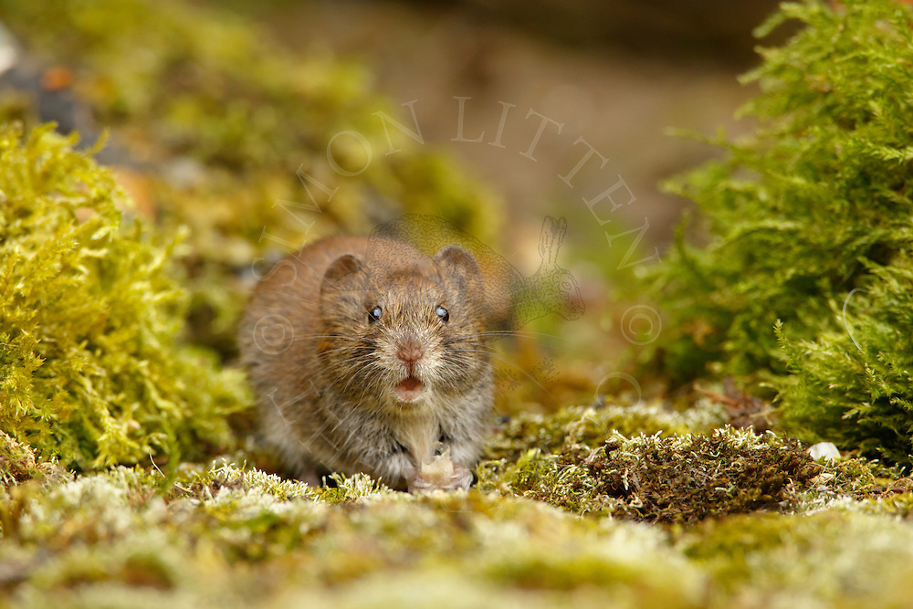 Bank Vole (Clethrionomys glareolus) adult feeding on moss-covered ground, South Norfolk, UK. August.